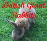 British Giant Rabbits